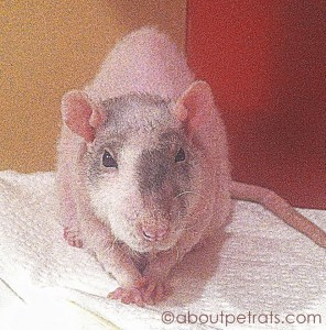 about pet rats, pet rats, pet rat, rats, rat, fancy rats, fancy rat, ratties, rattie, pet rat care, pet rat info, pet rat information, when to separate pet rats, should I separate my pet rats?, For how long should I separate my pet rats?, Do my pet rats need to be separated?, Reasons to separate pet rats, pet rat ageing, older pet rat