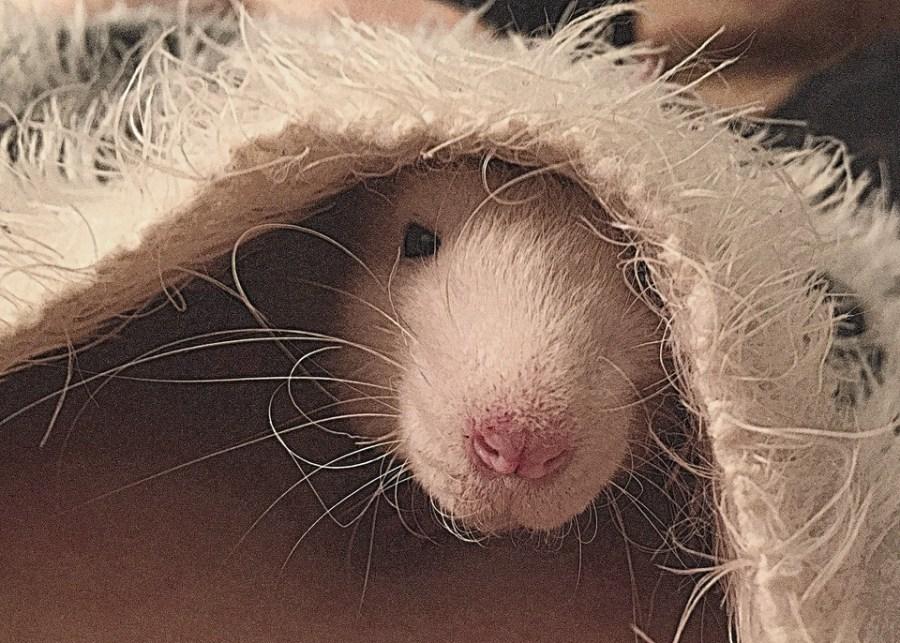 about pet rats, pet rats, pet rat, rats, rat, fancy rats, fancy rat, ratties, rattie, pet rat care, pet rat info, more than one rat, pet rat friends, pet rat information, rats need rat friends, pet rat health