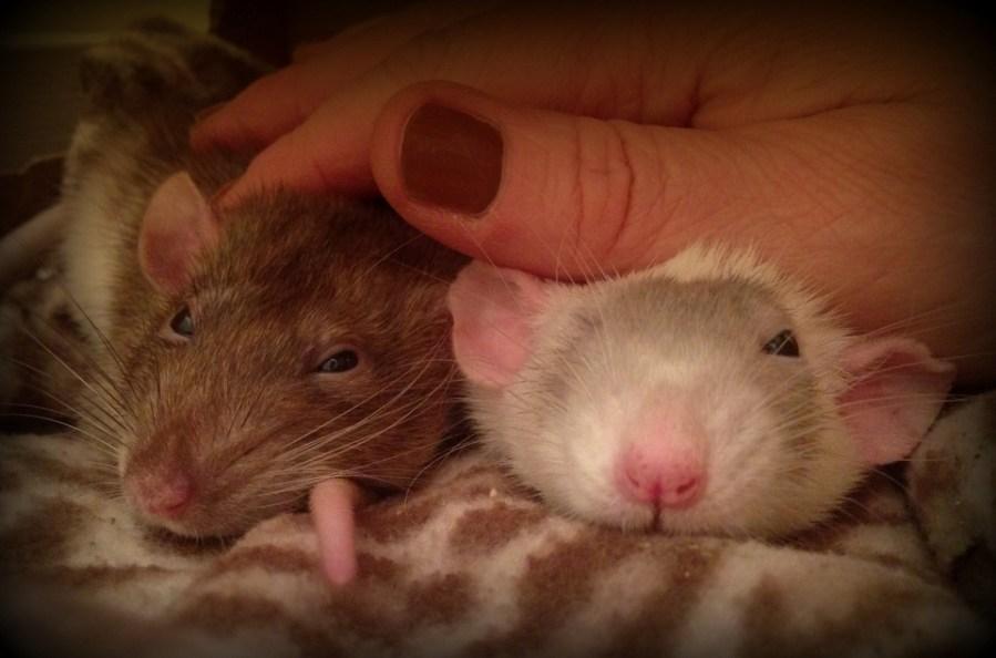 about pet rats, pet rats, pet rat, rats, rat, fancy rats, fancy rat, ratties, rattie, pet rat care, pet rat info, more than one rat, pet rat friends, pet rat information