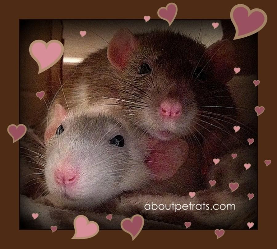 about pet rats, pet rats, pet rat, rats, rat, fancy rats, fancy rat, ratties, rattie, pet rat care, pet rat info, best pet, cute pets, pet rat companionship, pet rats need friends, pet rats need rat friends, always have two rats