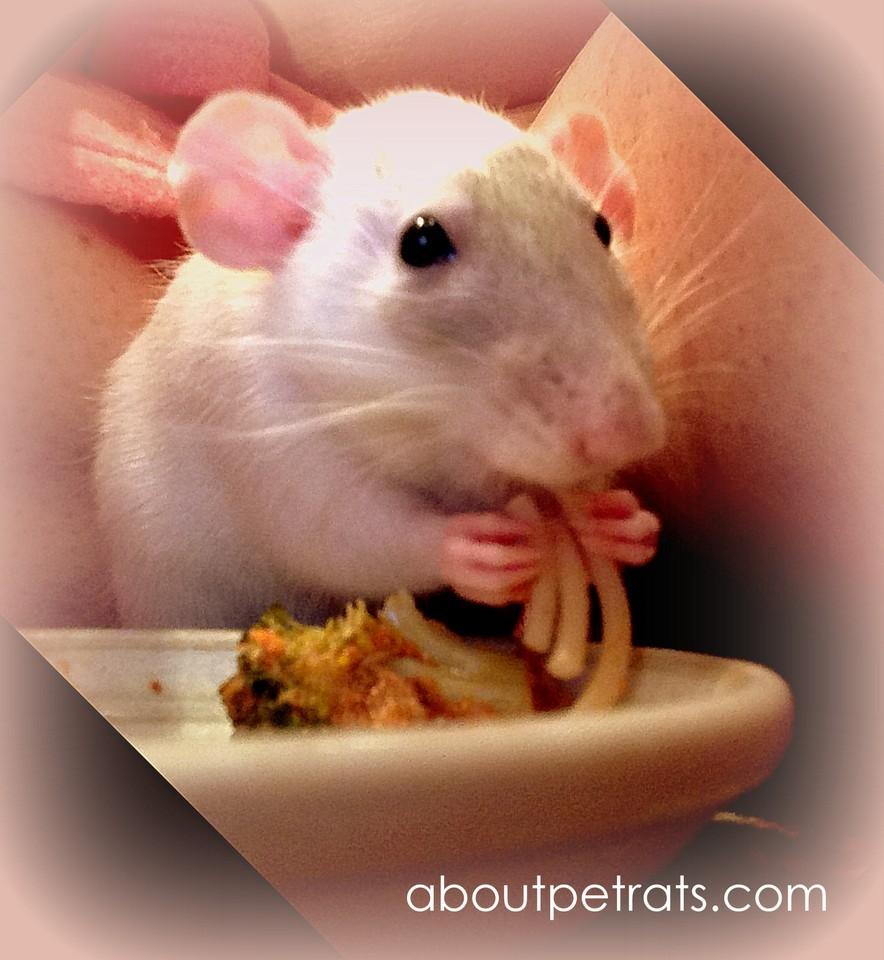 about pet rats, pet rats, pet rat, rats, rat, fancy rats, fancy rat, ratties, rattie, pet rat care, pet rat info, best pet, cute pets, pet rat supplies, pet rat diet, pet rat food, pet rat nutrition, best diet for pet rat baby, best diet for pet rat babies, what to feed baby pet rat, what to feed pet rat babies