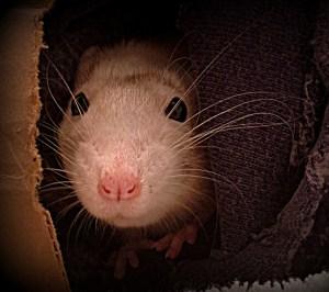 about pet rats, pet rats, pet rat, rats, rat, fancy rats, fancy rat, ratties, rattie, pet rat care, pet rat info, pet rat play, pet rat behavior, pet rat health