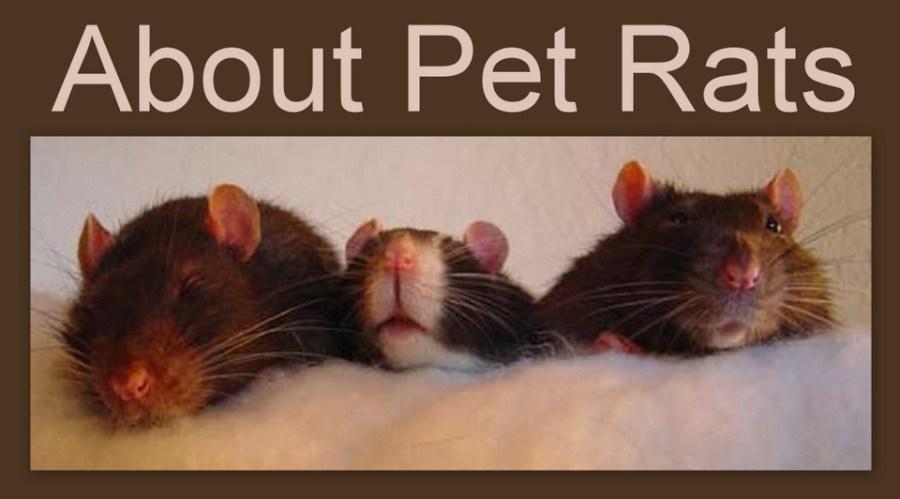 free pet rat supplies guide