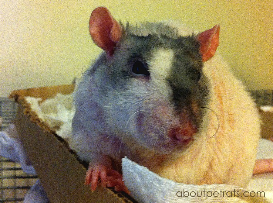 Pet Rat Litter Box Training