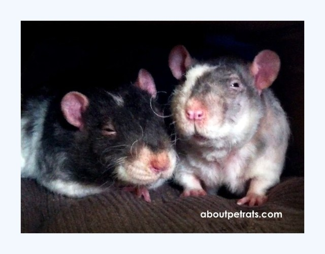 Overcoming Allergic Reactions to Pet Rats | About Pet Rats