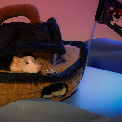#pet rat in pirate ship #pet rat pirate #rats #petrats