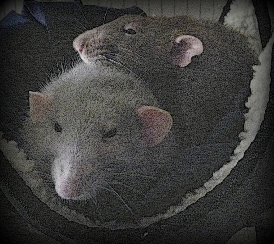 about pet rats, pet rats, pet rat, rats, rat, fancy rats, fancy rat, ratties, rattie, pet rat care, pet rat info, pet rat information, travel with rats, travel with pet rats, pet rat supplies, pet rat health, pet rat friend, pet rat companionship, always have at least two pet rats, always have at least 2 pet rats