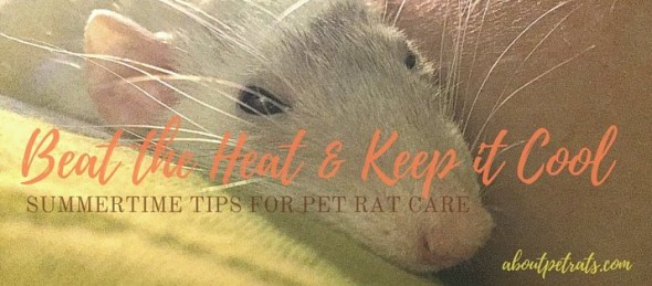 about pet rats, pet rats, pet rat, rats, rat, fancy rats, fancy rat, ratties, rattie, pet rat care, pet rat info, pet rat information, pet rat heat, pet rat overheat, what to do if my rat's too hot?, pet rat in summer heat, cooling off pet rat, pet rat heatstroke, pet rat overheated, pet rat too hot, pet rat temperature, pet rat temperatures