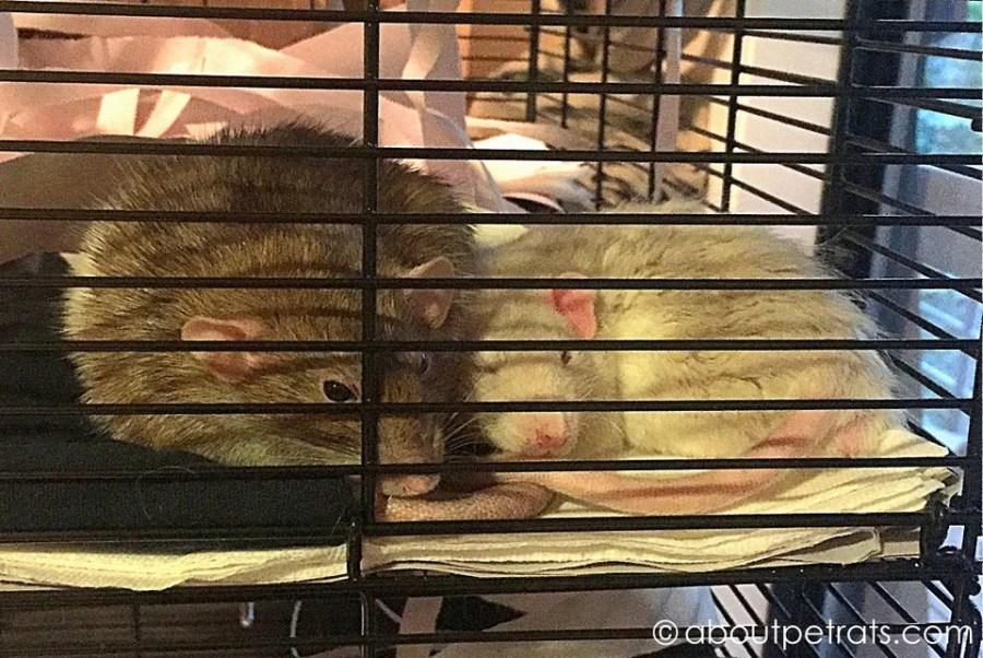 about pet rats, pet rats, pet rat, rats, rat, fancy rats, fancy rat, ratties, rattie, pet rat care, pet rat info, pet rat intro, pet rat intros, pet rat introduction, pet rat introductions