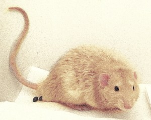 pet rat health, pet rat vet, pet rat vet care, pet rat surgery, about pet rats, pet rats, pet rat, rats, rat, fancy rats, fancy rat, ratties, rattie, pet rat info, pet rat information, pet rat litter box, pet rat litter box training, pet rat behavior, pet rat urine marking, pet rat training