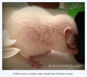 about pet rats, pet rats, pet rat, rats, rat, fancy rats, fancy rat, ratties, rattie, pet rat care, pet rat info, pet rat information, travel with rats, travel with pet rats, pet rat supplies, pet rat health, pet rat vet, pet rat vet care, pet rat cage, best pet, cutest pet, cute pet, love your pet rat, how to love your pet rat