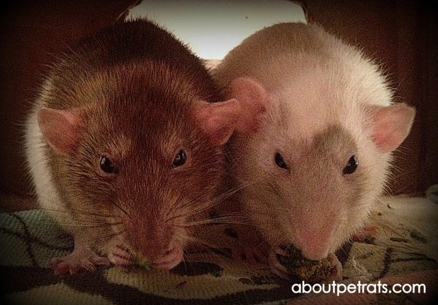 free guide to pet rat supplies