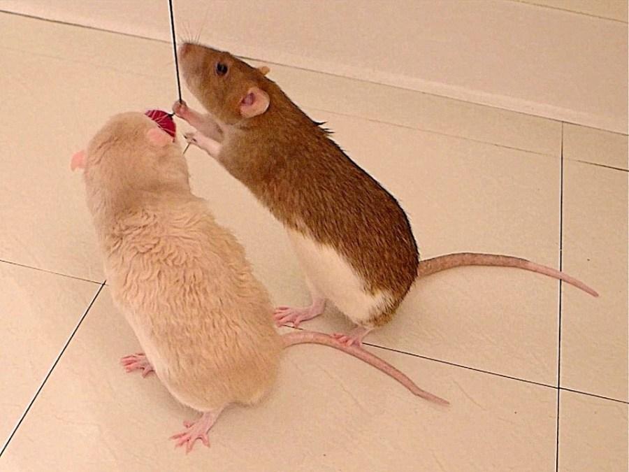 about pet rats, pet rats, pet rat, rats, rat, fancy rats, fancy rat, ratties, rattie, pet rat care, pet rat info, pet rat play, pet rat behavior