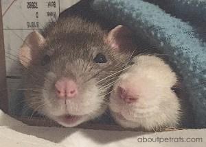 about pet rats, pet rats, pet rat, rats, rat, fancy rats, fancy rat, ratties, rattie, pet rat care, pet rat info, pet rat males vs females, pet rat males, pet rat females, pet rat girls, pet rat boys, best pet, cutest pet, cute pet, pet rat information
