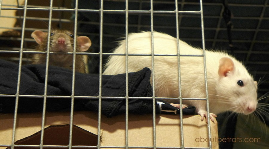 #pet rat cage #pet rat cage cleaning #pet rats #rats #pet rat care #fancy rats #fancy rat