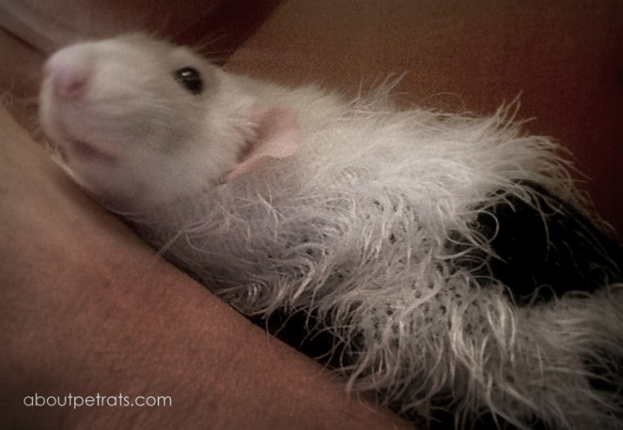 about pet rats, pet rats, pet rat, rats, rat, fancy rats, fancy rat, ratties, rattie, pet rat care, pet rat info, best pet, cutest pet, cute pet, pet rat information, pet rat supplies, pet rat costume