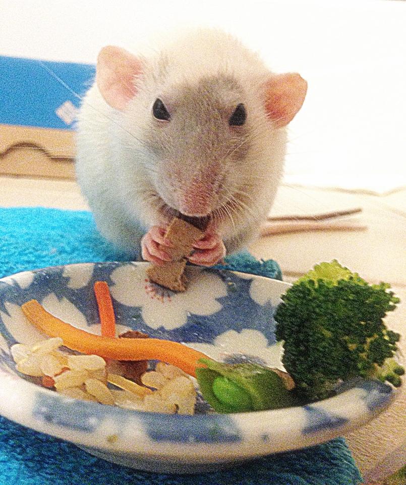 about pet rats, pet rats, pet rat, rats, rat, fancy rats, fancy rat, ratties, rattie, pet rat care, pet rat info, best pet, cute pets, pet rat supplies, pet rat diet, pet rat food, pet rat nutrition