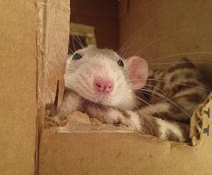 about pet rats, pet rats, pet rat, rats, rat, fancy rats, fancy rat, ratties, rattie, pet rat care, pet rat info, pet rat information, pet rat supplies, pet rat cage, pet rat cage interior, what to put inside your pet rat cage, pet rat cage décor, pet rat bedding