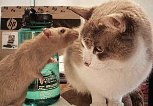 Fishy Roomies: If I have cats can I have rats? | About Pet Rats