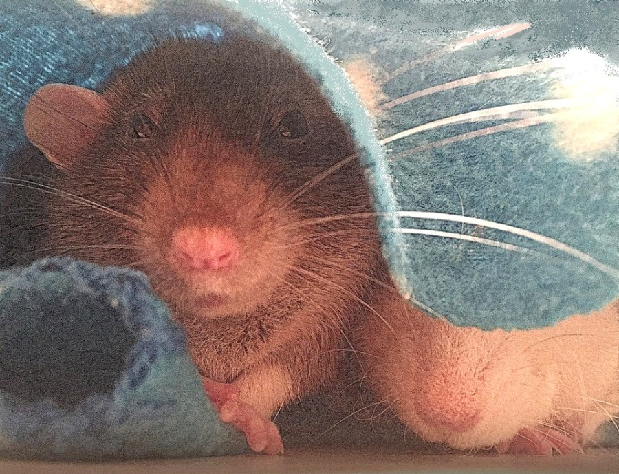about pet rats, pet rats, pet rat, rats, rat, fancy rats, fancy rat, ratties, rattie, pet rat care, pet rat info, pet rat information, when to separate pet rats, should I separate my pet rats? For how long should I separate my pet rats? Do my pet rats need to be separated? Reasons to separate pet rats