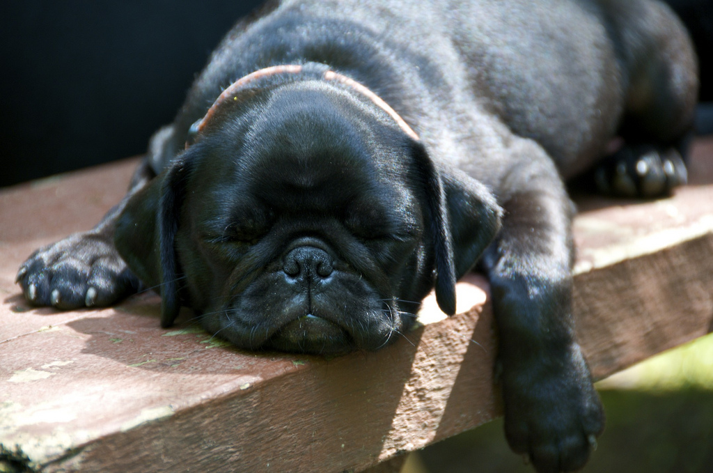 Image result for pug puppy black sleeping