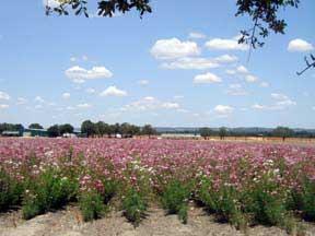 Fields of wildflowers in Texas