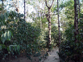 Coffee plants growing in the shade of tall trees