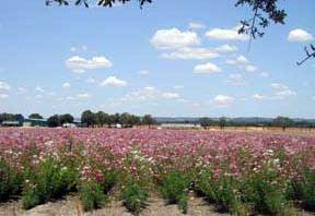 Rows of wildflowers on a Texas wildflower farm
