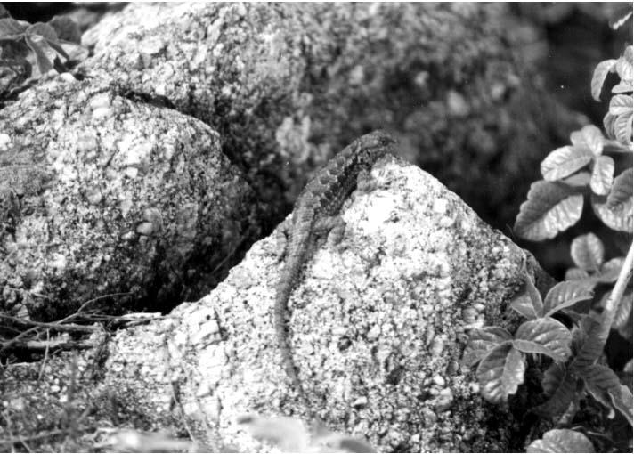 A lizard suns itself on a rock