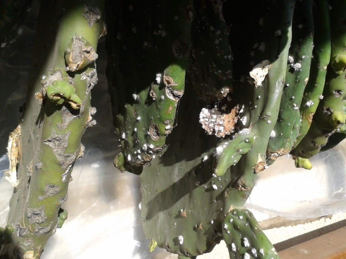 s with cochineal beetles hanging on a rack