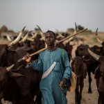 Police recover 11 stolen cows from serving Councillor in Adamawa