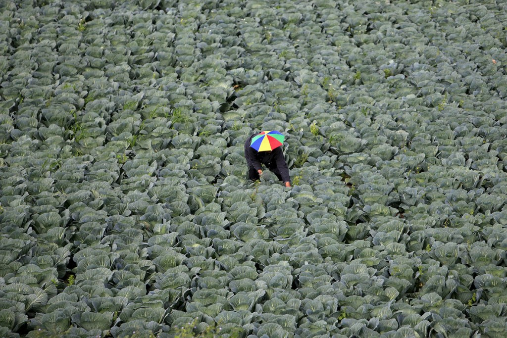 15 March, 2016: A farmer harvests broccoli in the town of al-Ansariyeh south of Sidon, Lebanon (Ali Hashisho/ Reuters)