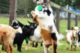 Jigawa Govt Empowers Women With 660 goats