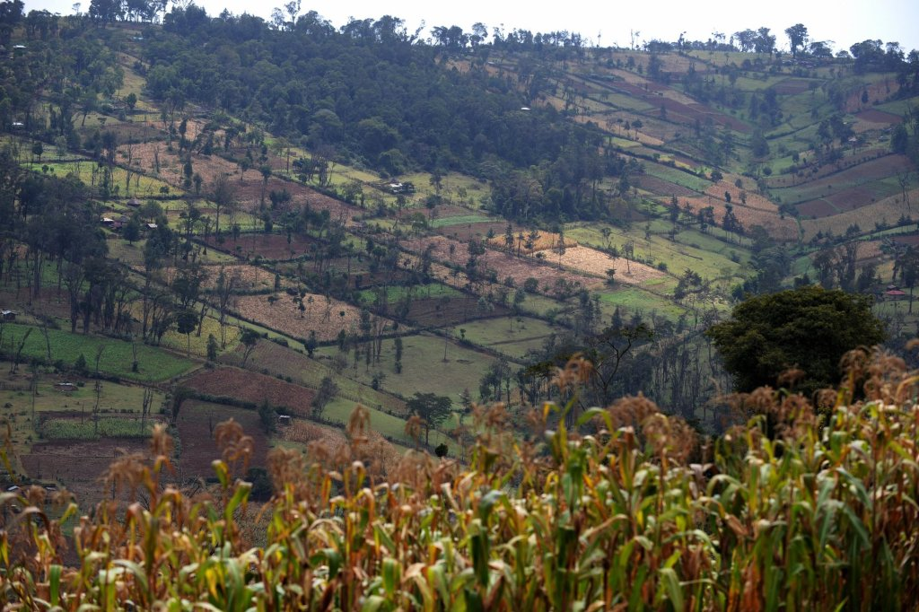Parts of Kenya's forests have been degraded to make way for maize plantations. Photograph: Roberto Schmidt/AFP/Getty Images