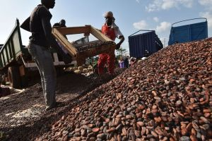 People work at a cocoa sorting centre, Ivory Coast. Photographer: Sia Kambou/AFP via Getty Images