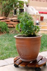 Wood and caster wheels make it easy to move this patio tomato plant. Photo: Moya McGuill