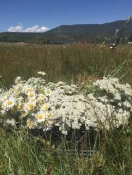 Cutting wild daisies and white yarrow in Penasco