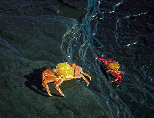 Sally Lightfoot crabs (a.k.a. red lava crabs) (Grapsus grapsus)