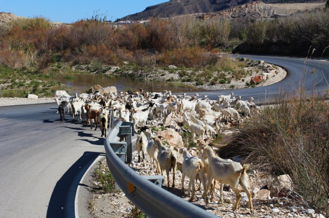 When you're driving somewhere and the road is blocked... goat figure.