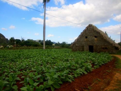 Tobacco farm in Vinales, Pinar del Rio