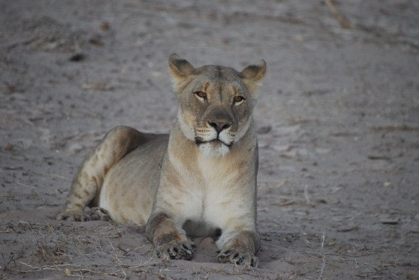 Desert Adapted Lion on the Skeleton Coast Hoanib Skeleton Coast Wilderness Safaris