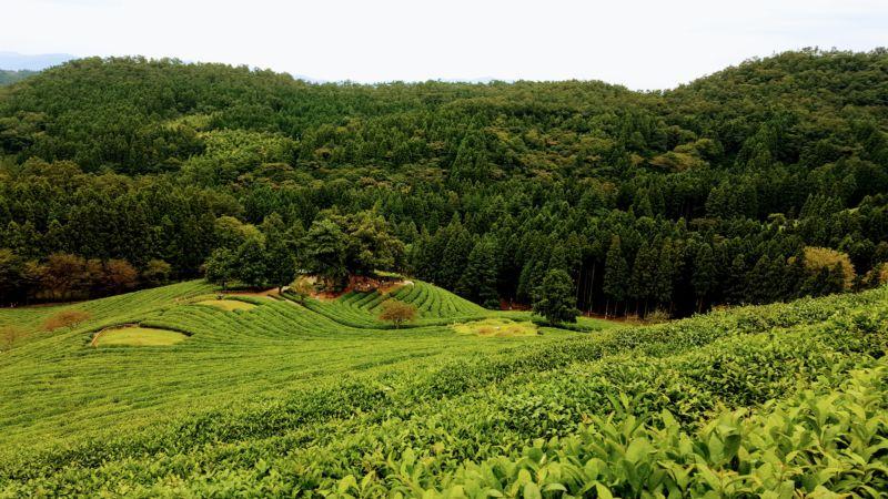 Boseong Green Tea