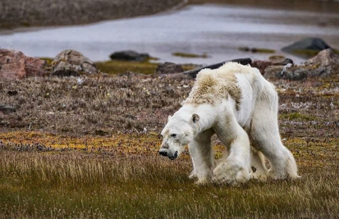 Christina Mittermeier @Sea Lecacy , Canadian Arctic – 'We cannot tell for sure why this bear was dying, what is certain is that as the Arctic continues to warm twice as fast as anywhere else on Earth , many more bears will face this fate over the coming years'