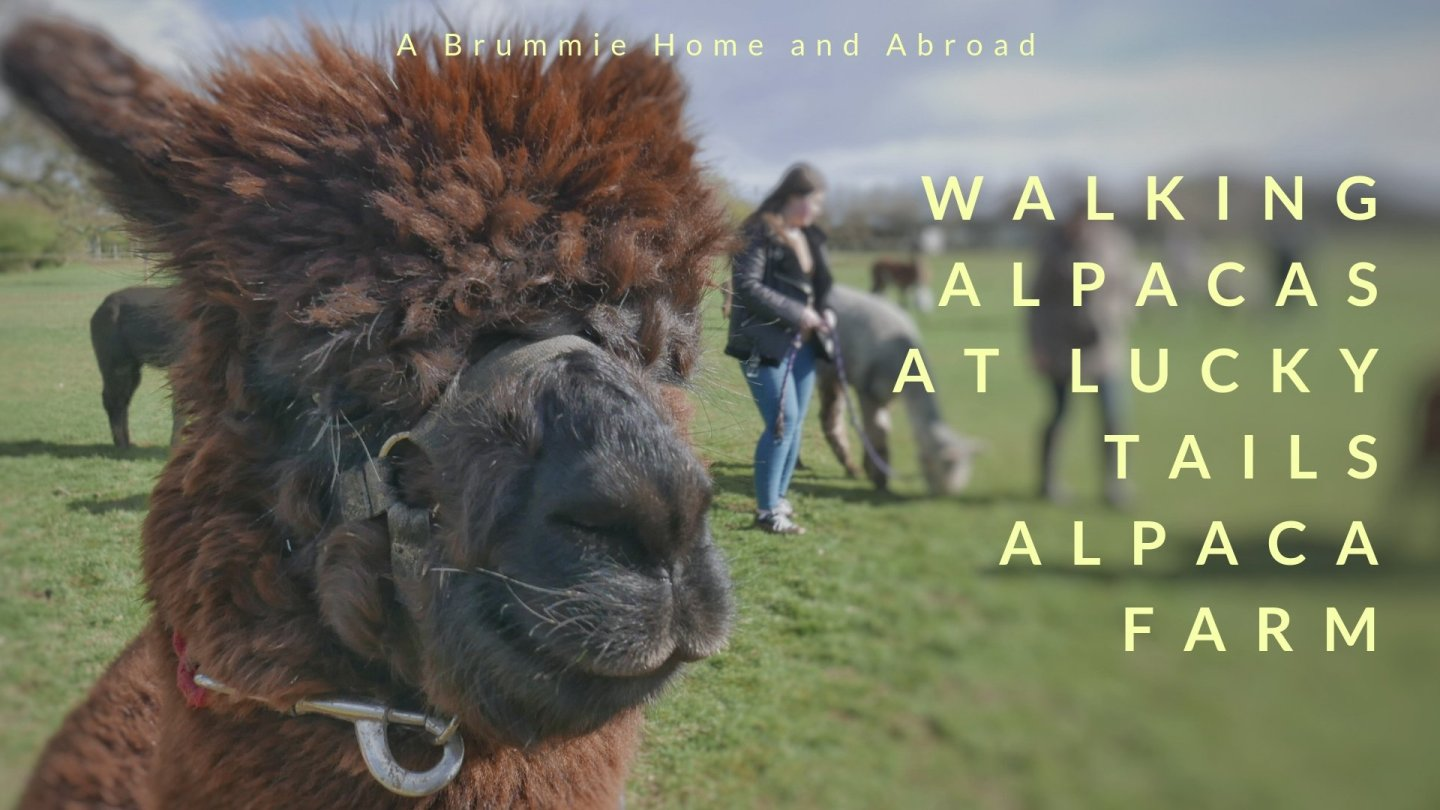 Walking alpacas at Lucky Tails Alpaca Farm