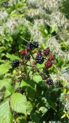 Wild berries that I wanted to eat, but Andy said no.