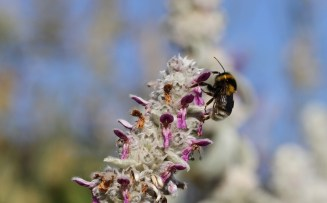 bumble bee on stachys lanata flower