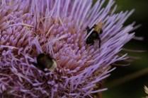 bumble bees in artichoke flower