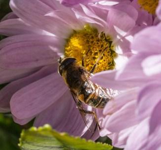Eristalis tenax on chrysanthemum