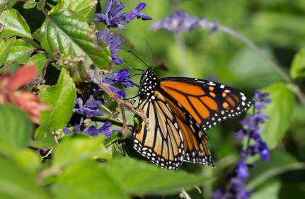 salvia and monarch butterfly
