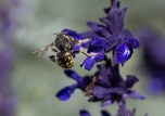 salvia and wool carder bee